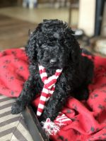 Labradoodle Puppies for sale in White Bird, ID 83554, USA. price: NA