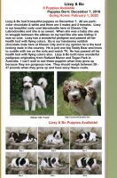 Labradoodle Puppies for sale in Athens, GA, USA. price: NA