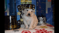 Labradoodle Puppies for sale in Suffolk County, NY, USA. price: NA