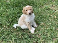 Labradoodle Puppies for sale in Palm Bay, FL, USA. price: NA