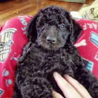Labradoodle Puppies for sale in 3569 Old Stage Ln, Cleveland, TN 37323, USA. price: NA