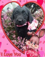 Labradoodle Puppies for sale in Castle Rock, WA 98611, USA. price: NA