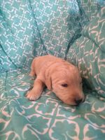 Labradoodle Puppies for sale in Austin, Orchard City, CO, USA. price: NA