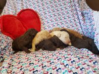 Labradoodle Puppies for sale in Litchfield, MI 49252, USA. price: NA