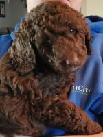 Labradoodle Puppies for sale in Edenton, NC 27932, USA. price: NA