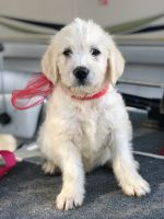 Labradoodle Puppies for sale in Fitzgerald, GA 31750, USA. price: NA