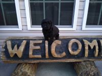 Labradoodle Puppies for sale in Red Springs, NC 28377, USA. price: NA