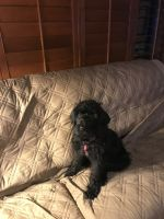 Labradoodle Puppies for sale in Greensboro, NC, USA. price: NA