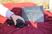 Labradoodle Puppies for sale in Sharon, SC 29742, USA. price: NA
