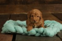 Labradoodle Puppies for sale in Wolf Lake, IL 62998, USA. price: NA