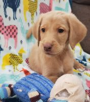 Labradoodle Puppies for sale in Perryville, MO 63775, USA. price: NA