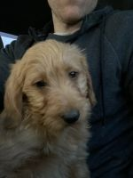 Labradoodle Puppies for sale in Ashburn, VA, USA. price: NA