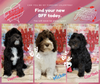 Labradoodle Puppies for sale in Saginaw, MI 48604, USA. price: NA