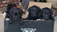 Labradoodle Puppies for sale in Spokane, WA, USA. price: NA