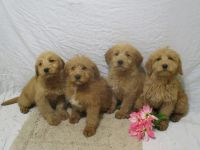 Labradoodle Puppies for sale in Loudonville, OH 44842, USA. price: NA