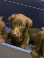 Labradoodle Puppies for sale in Zanesville, OH 43701, USA. price: NA