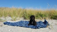 Labradoodle Puppies for sale in Osterville, Barnstable, MA 02655, USA. price: NA