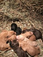 Labradoodle Puppies for sale in Dryden, MI 48428, USA. price: NA