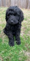 Labradoodle Puppies for sale in Holly Springs, NC 27540, USA. price: NA
