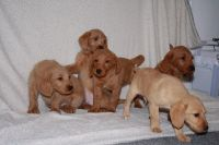 Labradoodle Puppies for sale in Chicago, IL, USA. price: NA