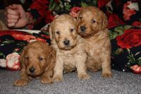 Labradoodle Puppies for sale in Indianapolis, IN, USA. price: NA