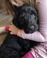 Labradoodle Puppies for sale in Galax, VA 24333, USA. price: NA
