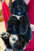 Labradoodle Puppies for sale in Yavapai County, AZ, USA. price: NA