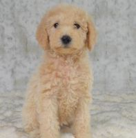 Labradoodle Puppies for sale in Forest City, NC 28043, USA. price: NA