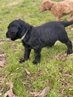 Labradoodle Puppies for sale in Matthews, NC, USA. price: NA