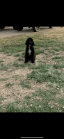 Labradoodle Puppies for sale in Hamilton, OH, USA. price: NA