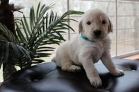 Labradoodle Puppies for sale in Cross Hill, SC 29332, USA. price: NA