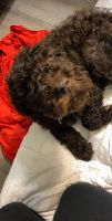 Labradoodle Puppies for sale in Grand Prairie, TX, USA. price: NA