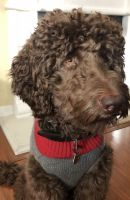 Labradoodle Puppies for sale in 3202 Vernazza Ave, San Jose, CA 95135, USA. price: NA