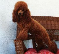 Labradoodle Puppies for sale in Washington, NC, USA. price: NA