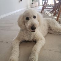 Labradoodle Puppies for sale in Macomb, MI 48044, USA. price: NA