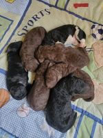 Labradoodle Puppies for sale in Alton, MO 65606, USA. price: NA