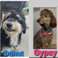 Labradoodle Puppies for sale in Lake Wylie, SC 29710, USA. price: NA