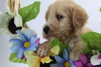 Labradoodle Puppies for sale in Greensboro, NC 27404, USA. price: NA