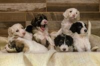Labradoodle Puppies for sale in 3574 W Wathen Ave, Fresno, CA 93711, USA. price: NA