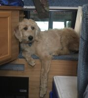 Labradoodle Puppies for sale in Ghent, NY, USA. price: NA