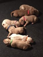 Labradoodle Puppies for sale in Fairmont, NC 28340, USA. price: NA