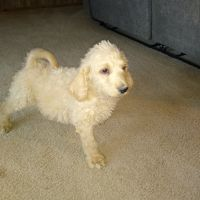 Labradoodle Puppies for sale in Fort Smith, AR, USA. price: NA