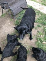 Labradoodle Puppies for sale in Tulsa, OK, USA. price: NA