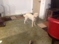 Labradoodle Puppies for sale in Billings, MT, USA. price: NA