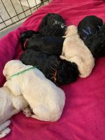 Labradoodle Puppies for sale in Greenville, SC, USA. price: NA