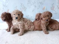 Labradoodle Puppies for sale in Los Angeles, CA, USA. price: NA