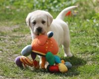 Labradoodle Puppies for sale in Dallas, TX 75247, USA. price: NA