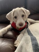 Labradoodle Puppies for sale in Hillsborough, NC 27278, USA. price: NA