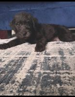 Labradoodle Puppies for sale in Williamsburg, VA 23185, USA. price: NA