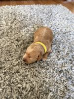 Labradoodle Puppies for sale in Fruita, CO 81521, USA. price: NA